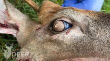 Por qué este ciervo tiene pelo cubriéndole los ojos