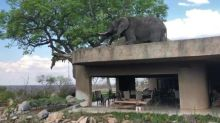 Incredible moment hungry bull elephant clambers onto safari lodge roof to feed from succulent tree