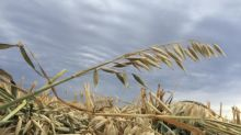 Alberta farmers face challenge of salvaging last year's soggy crops before spring seeding