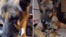 German shepherd 'cries' after being forced to eat chilli during live-stream amid disturbing new social media trend