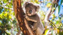 Sussan Ley urged to save Port Stephens koala habitat set to be destroyed by quarry