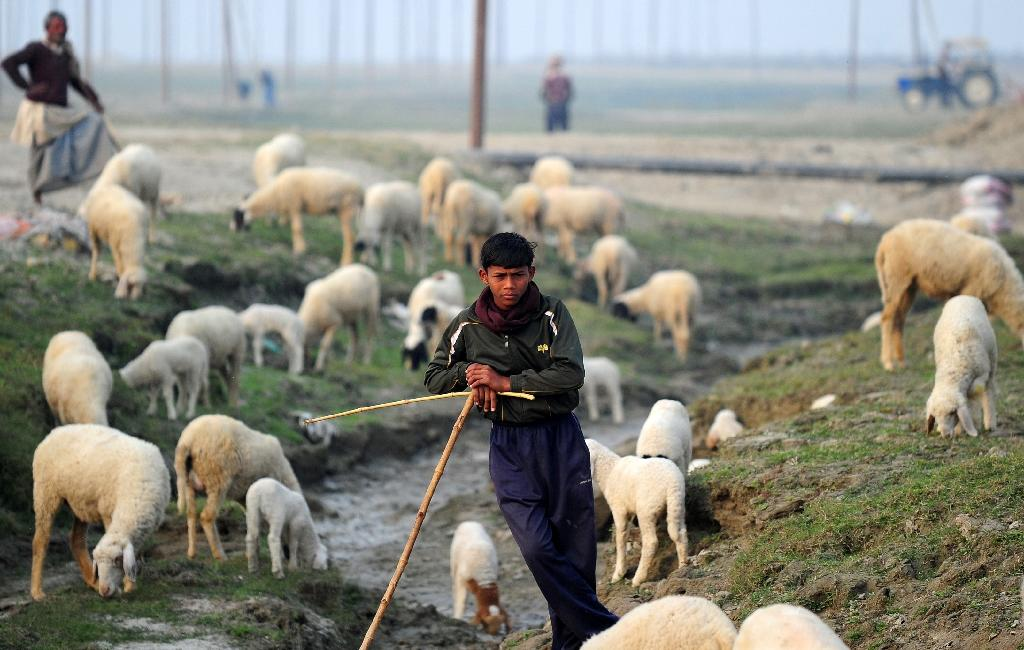 An Indian shepherd watches as his sheep graze at a field in Jushi village, near Allahabad on December 19, 2014 (AFP Photo/Sanjay Kanojia)