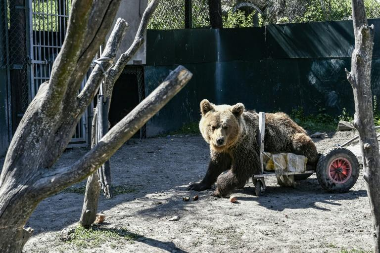 Usko, a paralysed bear, has died at the Arcturos sanctuary in Nymfaio