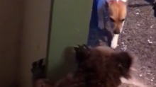 Koala Growls at Family Dog, Then Calmly Hangs on Their Front Door