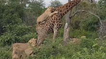 El ataque de unos leones a una jirafa y la ingenuidad de no entender un ecosistema demostrada en los comentarios