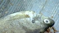 Hundreds Of Fish Found Dead At Spofford Lake