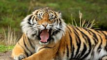 Tourists Trapped in Tiger Enclosure, Flee on Foot