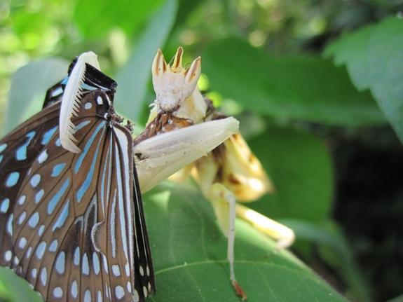 An orchid mantis chomps down on a butterfly it just lured in with its flowery disguise.