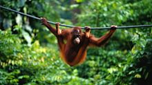 Travel on Trial: With Iceland's banned TV advertisement shining a light on the plight of Asia's orangutans, James Litston traverses Borneo in search of its animal icons