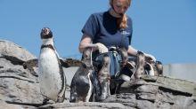 Meeresmuseum erforscht Hörvermögen von Pinguinen