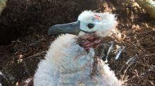 Fotografían a ratones comiéndose el cerebro de un albatros vivo