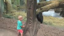 Toddler Plays Hide-And-Seek With Baby Gorilla
