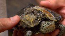 Alte BHs retten verletzten Schildkröten das Leben
