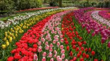 The world's most famous tulip festival in the Netherlands is now open