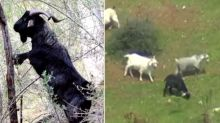 'They'll wipe everything out': The feral goats overtaking a town