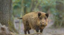 Se confirma el primer caso de peste porcina africana en Alemania; Europa corre peligro