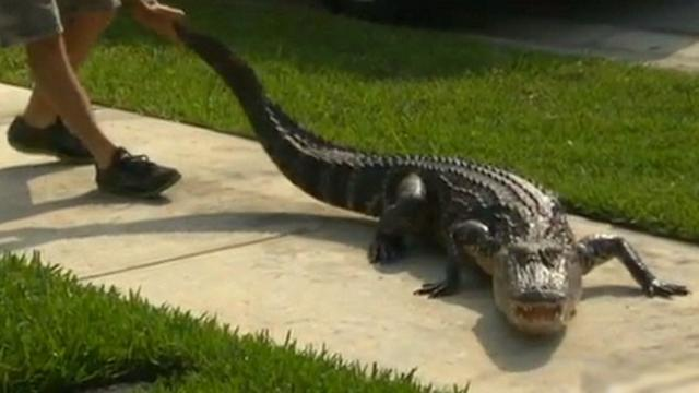 8-Foot Gator Surprises Family on Mother's Day