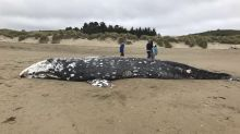 13th dead whale of the year washes ashore near San Francisco