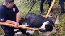 Cow Charges Florida Rescuers After Being Pulled From Drainage Hole
