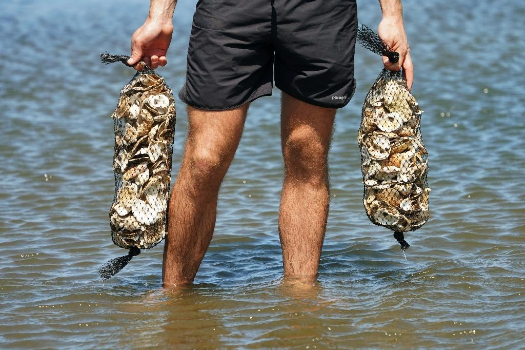 A member of the Billion Oyster Project places oysters in the waters near New York's Bush Terminal Park (AFP Photo/Don EMMERT)
