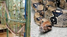 Residents warned of large boa constrictor on the loose in Sydney