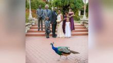 Peacock photobombs wedding photo, and the bridesmaid's reaction is hilarious