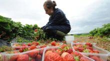 Coronavirus: Thousands apply for fruit and veg grower jobs