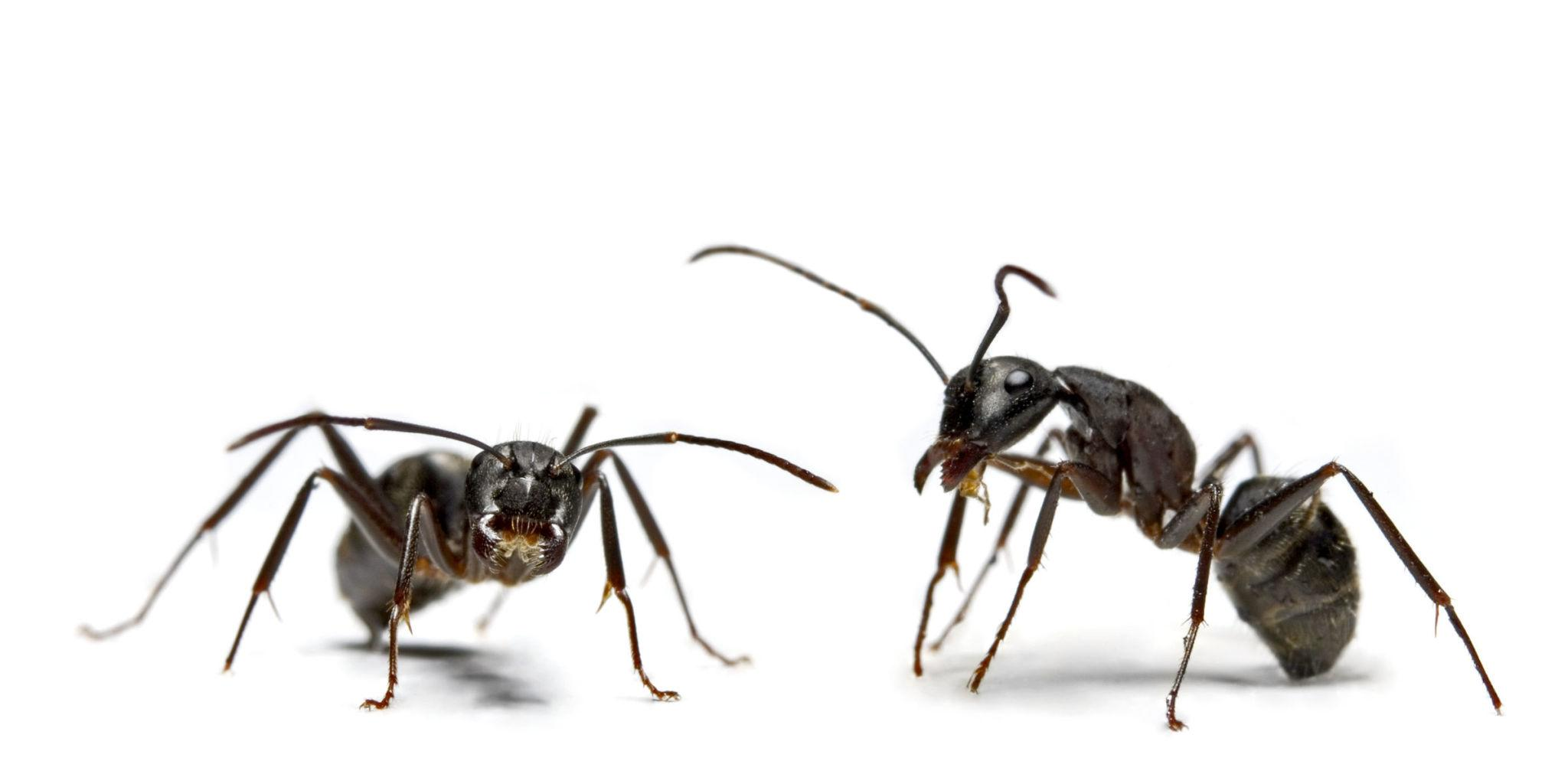 how to get rid of small black ants