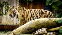 Two rescued Aleppo tigers settle into new Dutch home