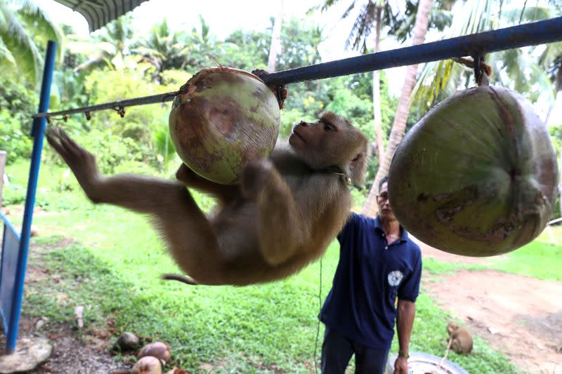 Thai monkey trainer rejects PETA claims on coconut harvesting