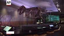 Largest T. rex skeleton has new display at Chicago museum