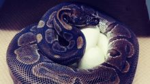 Elderly ball python lays eggs 'without male help'