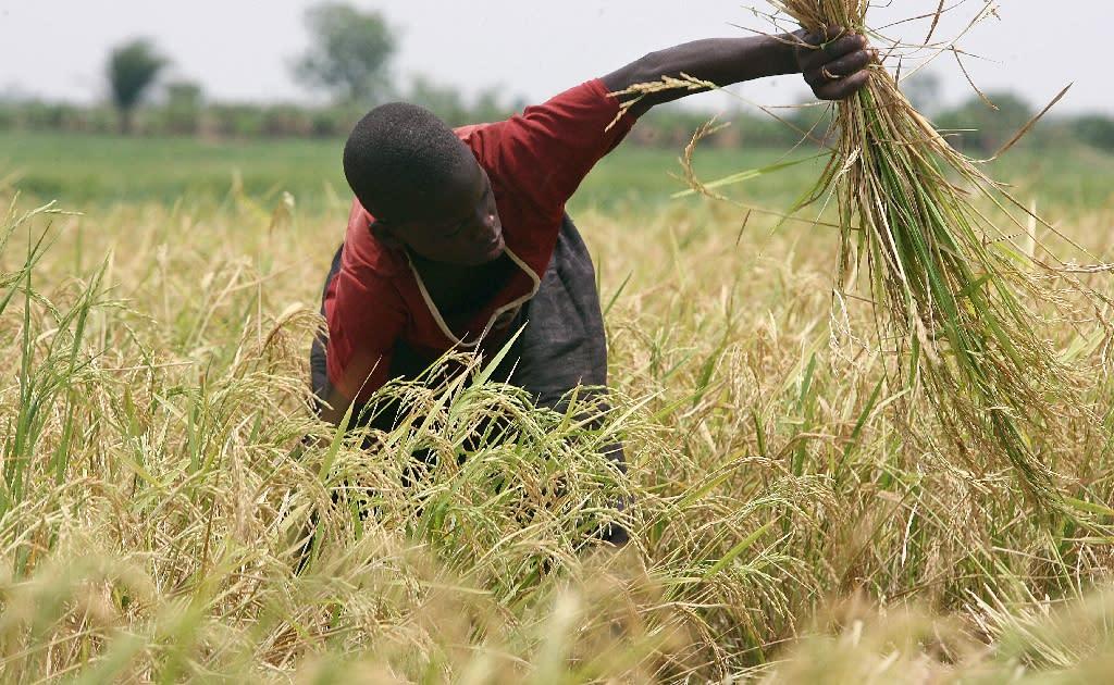 A Burkina Faso farmer harvests rice on April 23, 2008 in Bagre in eastern Burkina Faso