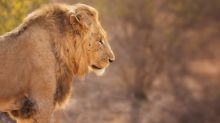 Watch this hungry lion shock a safari tour