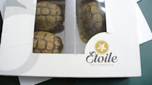 Man Attempts to Smuggle Tortoises Disguised as 'Chocolate' Into German Airport