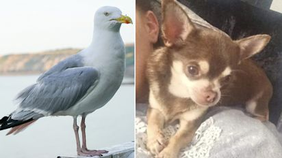 Dog snatched from garden by swooping seagull