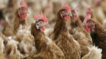 Breeding super chickens could help put an end to antibiotic use on poultry farms