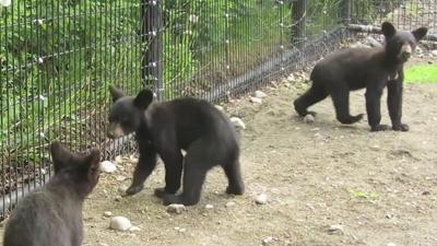 Raw Video: Bear cubs at Alaska zoo