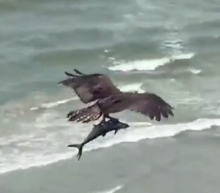 Huge bird of prey catches shark-like fish and flies off in viral video