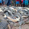 Villagers kill hundreds of crocodiles after death of local man