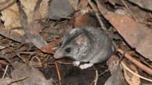 Armchair expeditions: the addictive joy of dunnart spotting