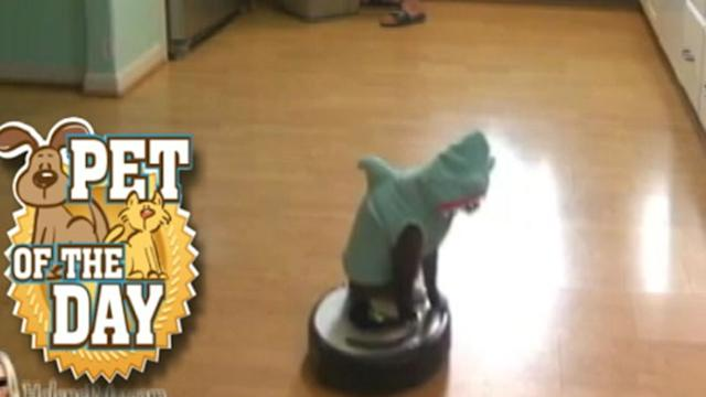 Cat in Shark Costume Rides Robo-Vacuum