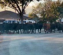 Cows escape slaughterhouse, stampede through California neighborhood