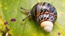 又有動物絕種 最後一隻夏威夷蝸牛老死