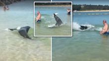 Incredible moment seal darts through swimmers to catch fish