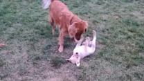 Golden Retriever Meets New Puppy for First Time