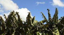 BHP and Goldman Back a Solar Project Out in Australia's Banana Plantations