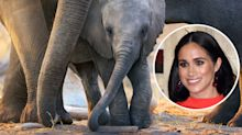 We've seen Meghan Markle's Disney+ documentary: Everything you need to know about 'Elephant'
