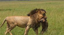 È morto Scarface, leggendario leone del Masai Mara