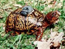 GPS-equipped turtle runs into reefer farm, gets high-fives from police